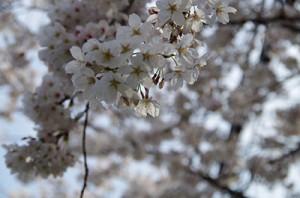 亀有桜通りの桜1