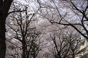 亀有桜通りの桜2